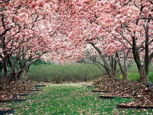 Цветение сакуры. Розовые цветы.