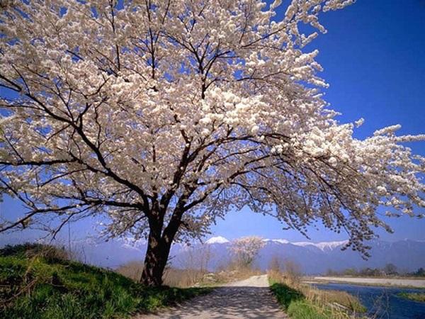 Цветущая сакура - белый цвет