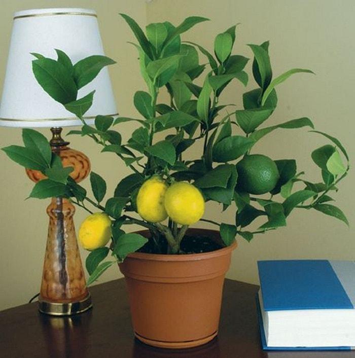 Лимон комнатные цветы