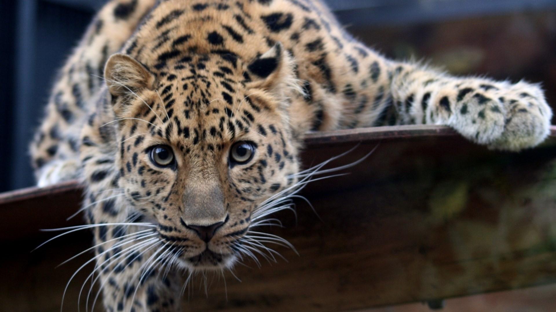 Молодой леопард