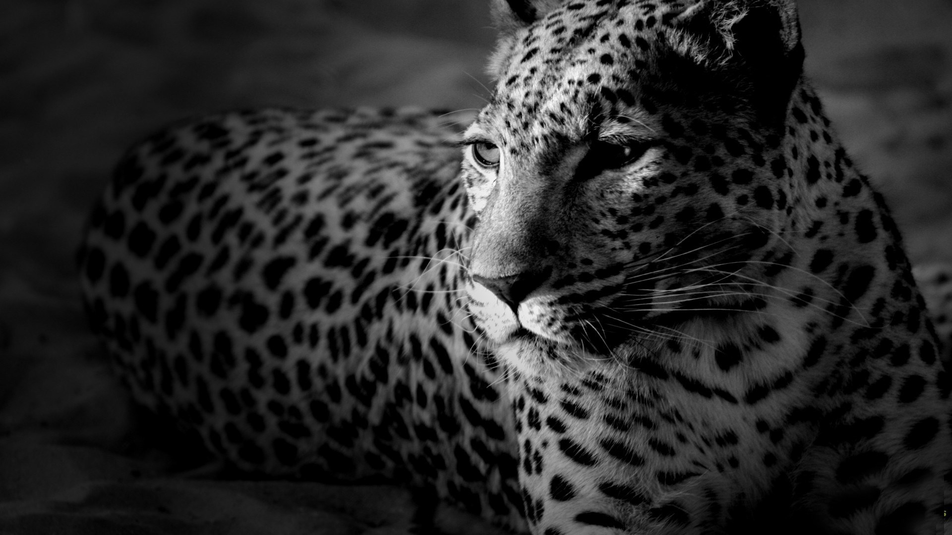 Взрослый леопард