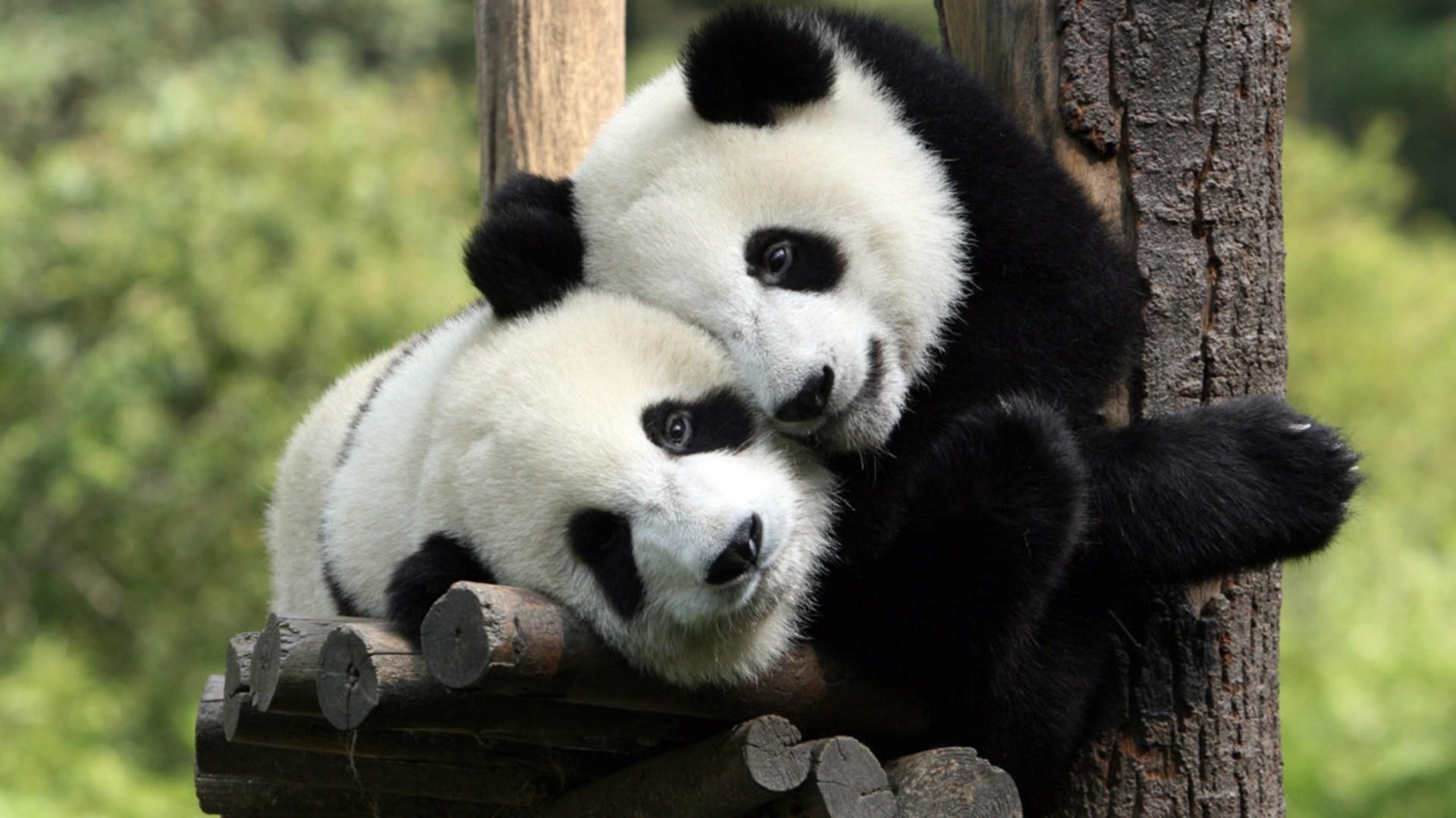Две панды.